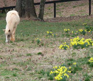Horsedaffodils
