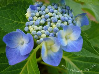 Walkhydrangea