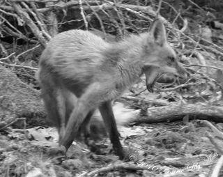 Foxyawn