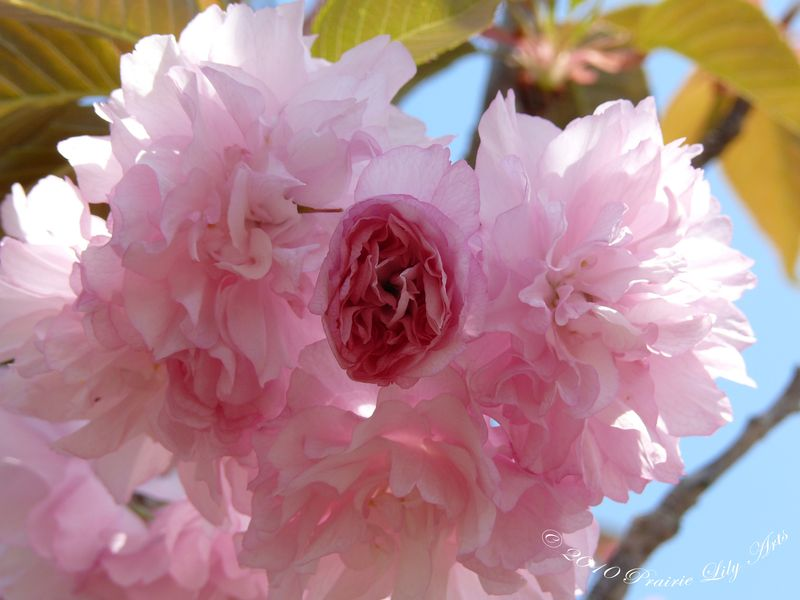 Cherryblossomopening